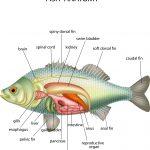 Fish anatomy
