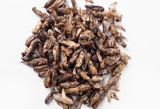 Edible crickets